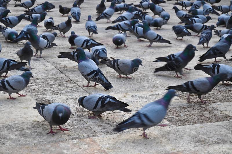 Troep van duiven stock afbeelding