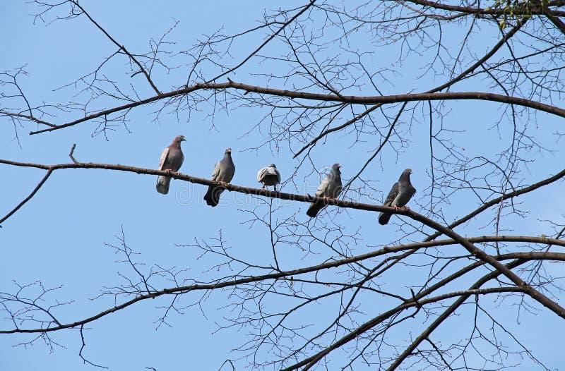 Troep van duiven stock afbeeldingen