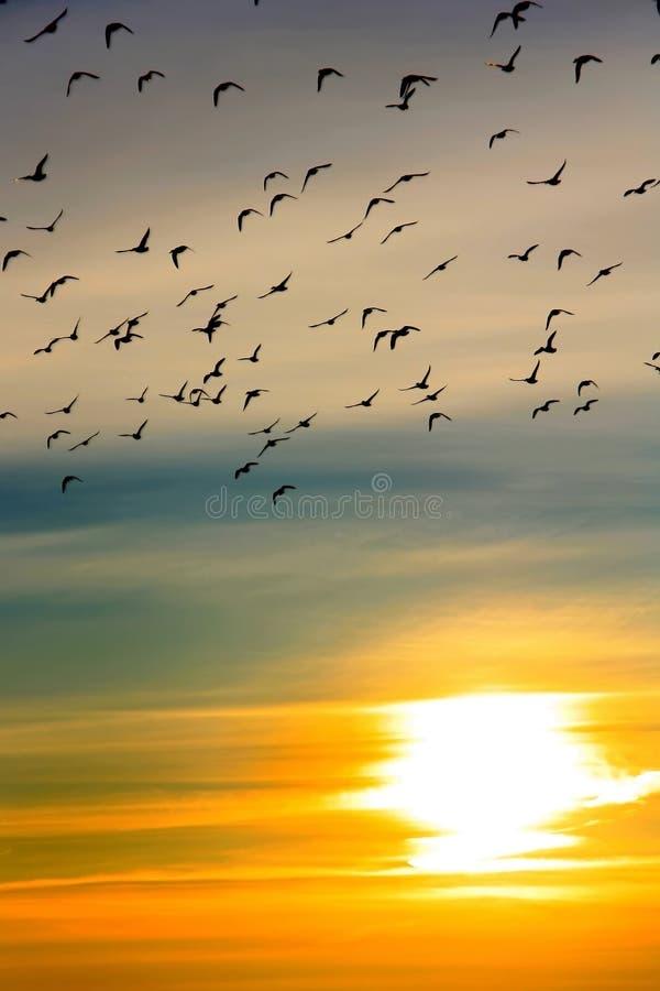 Troep van eenden bij zonsondergang stock foto's