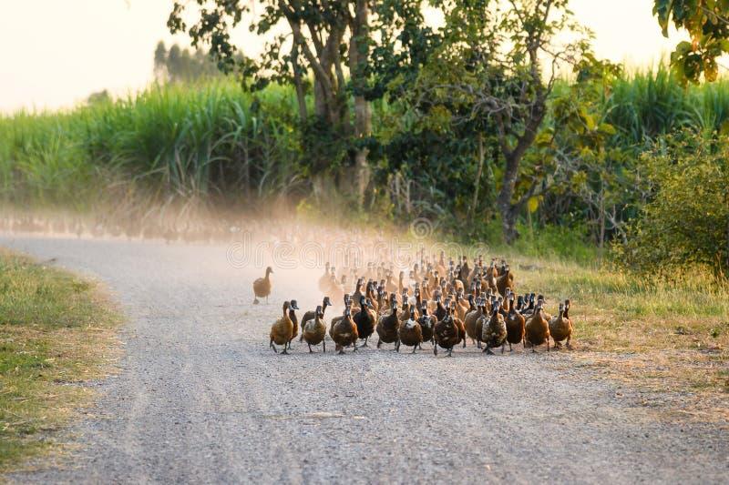 Troep van eenden die bij de landweg in aanplanting lopen stock afbeelding