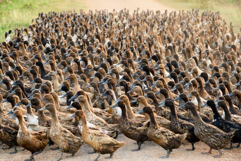 Troep van eenden die bij de landweg in aanplanting lopen royalty-vrije stock fotografie