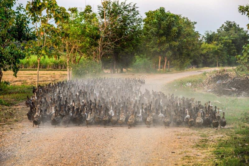 Troep van eenden die bij de landweg hoeden stock foto