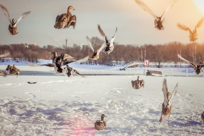 Troep van eenden die in de winter bij zonsondergang opstijgen stock foto's
