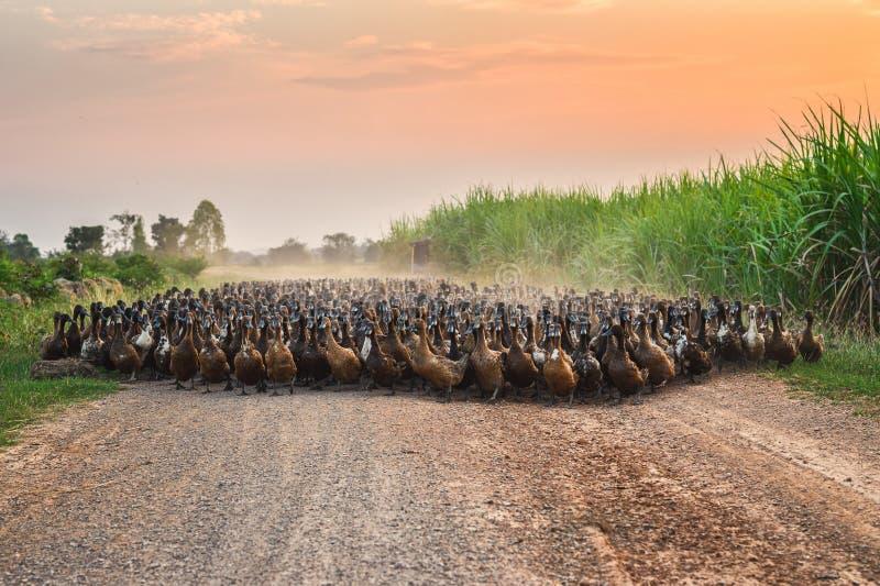 Troep van eenden met landbouwkundige het hoeden bij de landweg stock foto