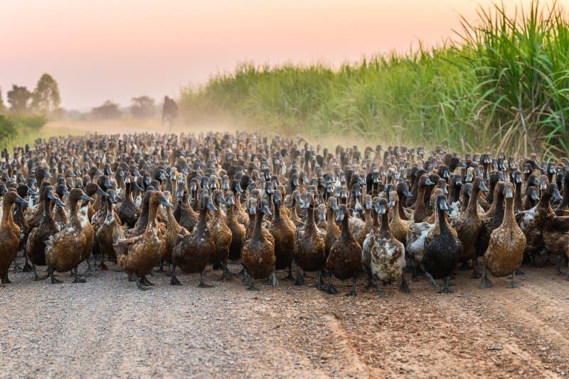 Troep van eenden met landbouwkundige het hoeden bij de landweg royalty-vrije stock afbeelding