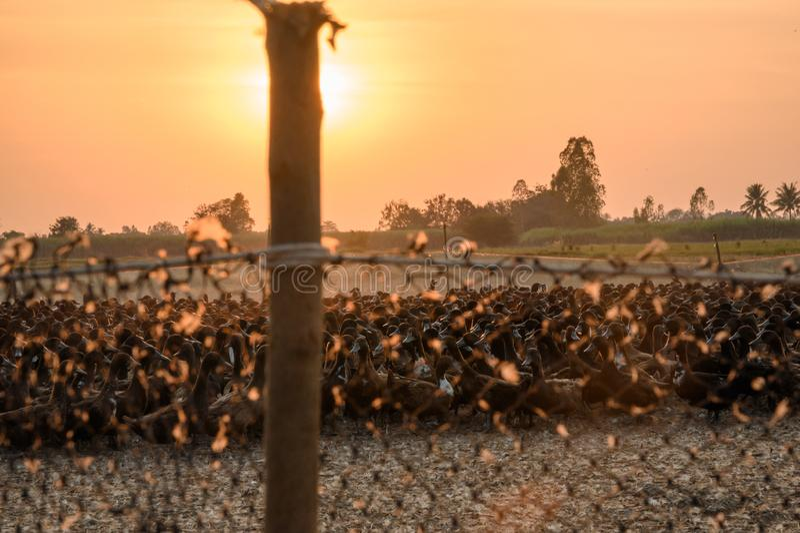 Troep van eenden met zonlicht die in box glanzen royalty-vrije stock afbeeldingen