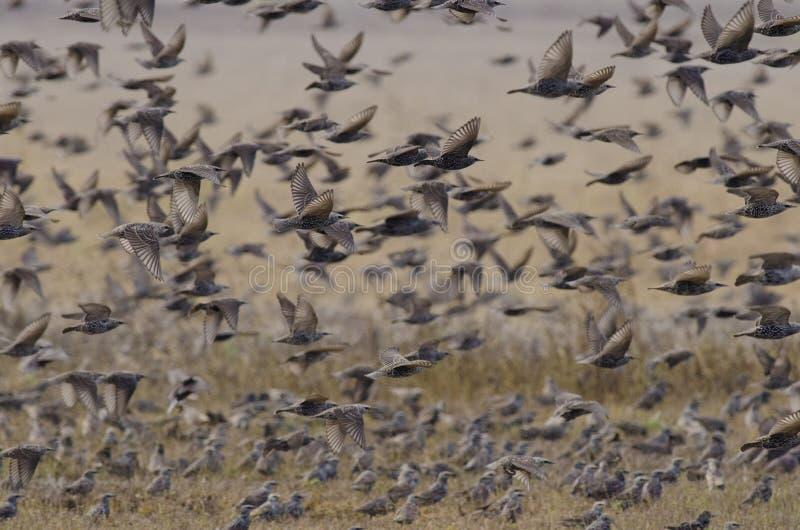 Troep van Europese starlings stock afbeelding