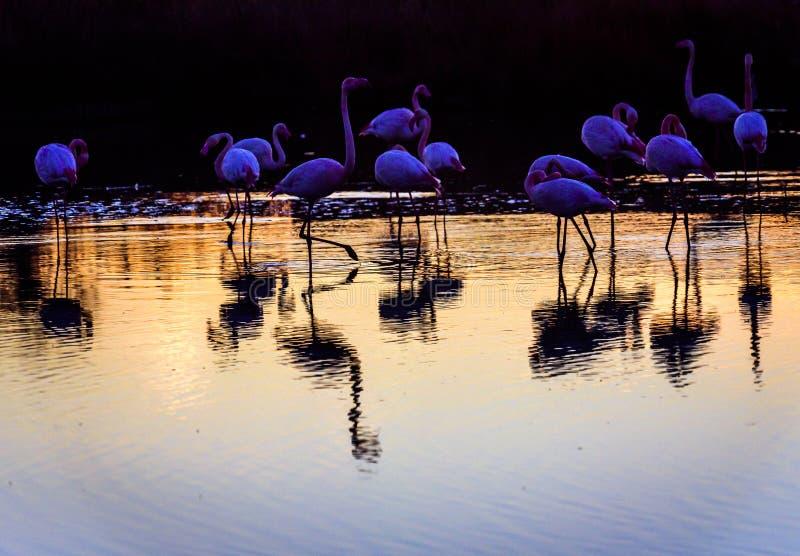 Troep van Flamingo's bij zonsondergang in Camargue, Frankrijk stock afbeelding