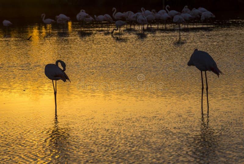 Troep van Flamingo's bij zonsondergang in Camargue, Frankrijk royalty-vrije stock foto