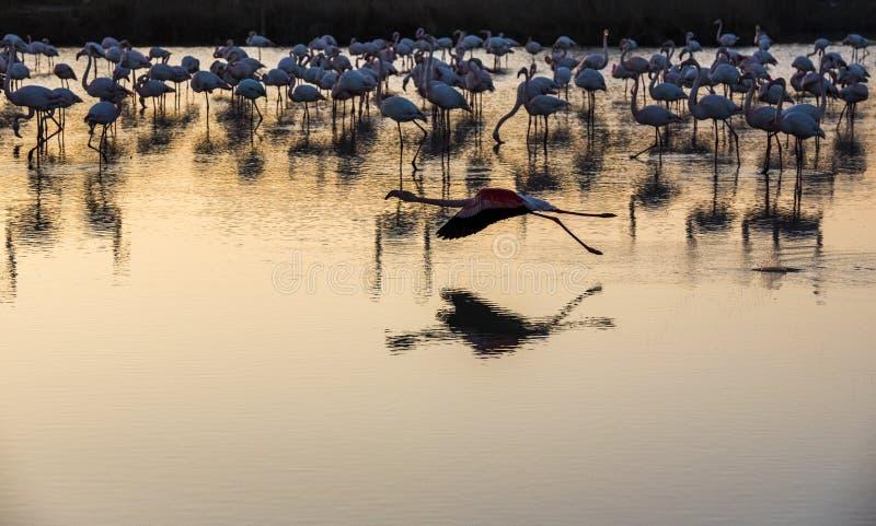 Troep van Flamingo's bij zonsondergang in Camargue, Frankrijk stock foto's