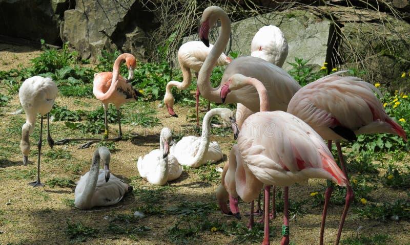 Troep van flamingo's in DIERENTUIN van Jihlava in Tsjechische republiek stock fotografie