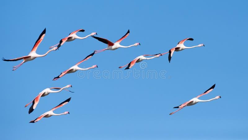 Troep van flamingo's tijdens de vlucht royalty-vrije stock afbeelding