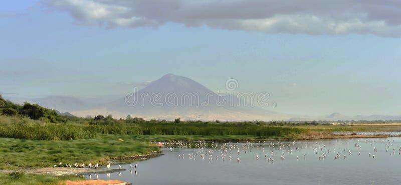 Troep van flamingo's tijdens de vlucht Flamingo'svlieg over het meer Natron Volcano Langai op de achtergrond Kleinere Flamingo We royalty-vrije stock foto's