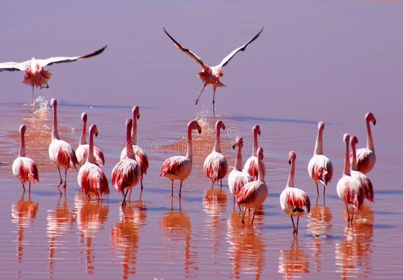 Troep van Flamingoes stock foto's