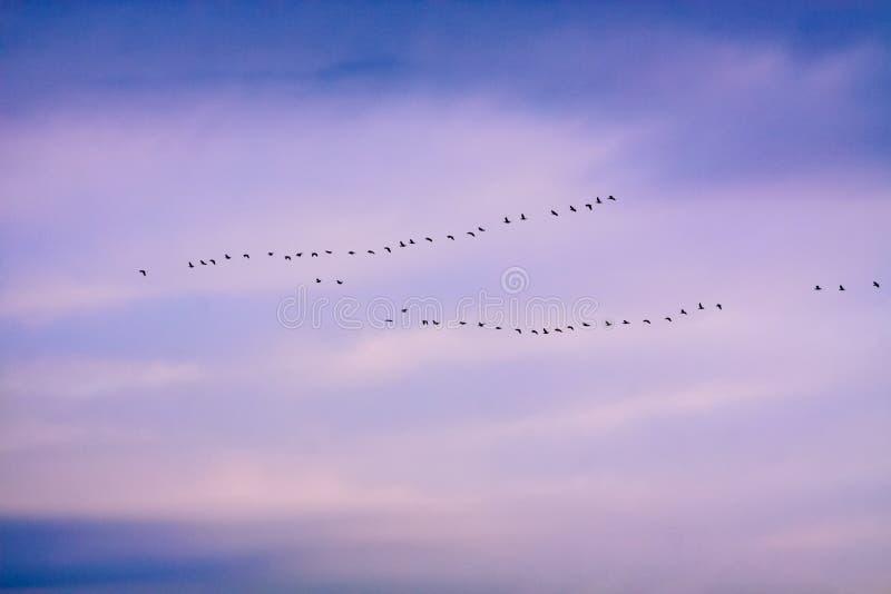 Troep van ganzen tijdens de vlucht stock afbeelding