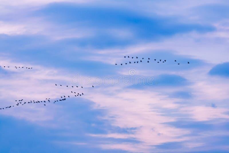 Troep van ganzen tijdens de vlucht stock fotografie