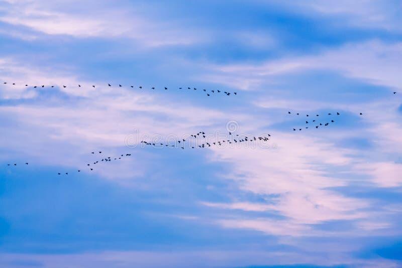 Troep van ganzen tijdens de vlucht stock foto's