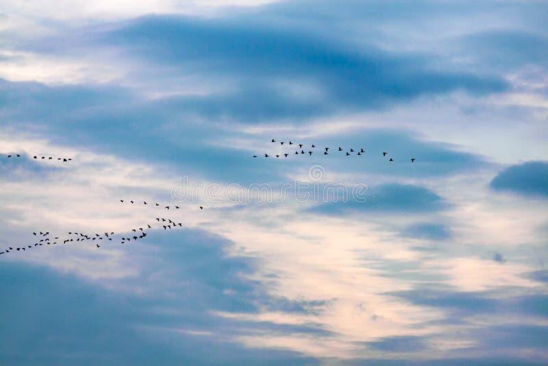 Troep van ganzen tijdens de vlucht royalty-vrije stock fotografie