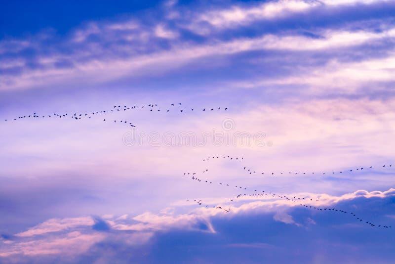 Troep van ganzen tijdens de vlucht royalty-vrije stock foto