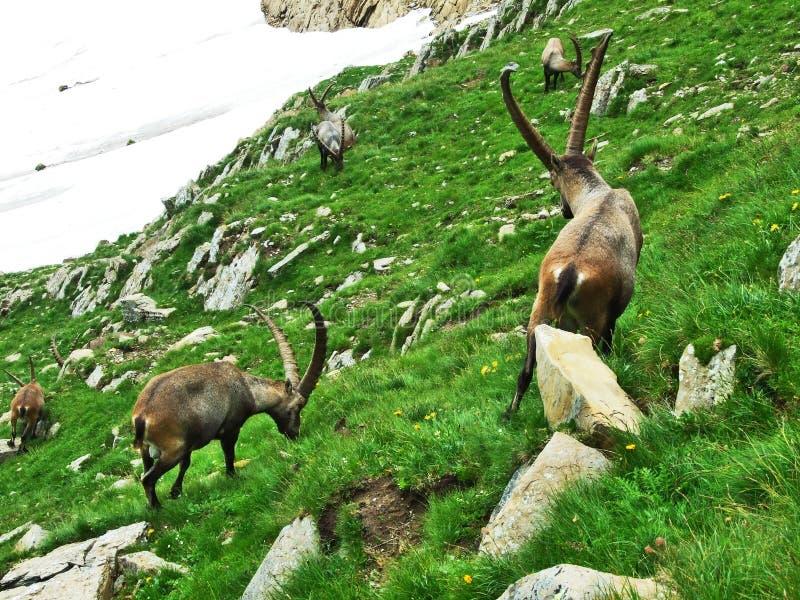 Troep van Gemzen of Rupicapra-rupicapra L n de rand van de bergmassa Alpstein stock afbeelding
