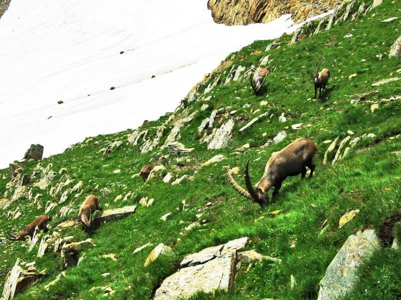Troep van Gemzen of Rupicapra-rupicapra L n de rand van de bergmassa Alpstein stock fotografie