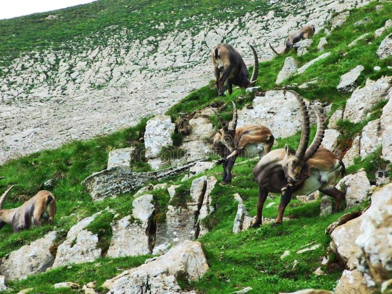 Troep van Gemzen of Rupicapra-rupicapra L n de rand van de bergmassa Alpstein royalty-vrije stock foto