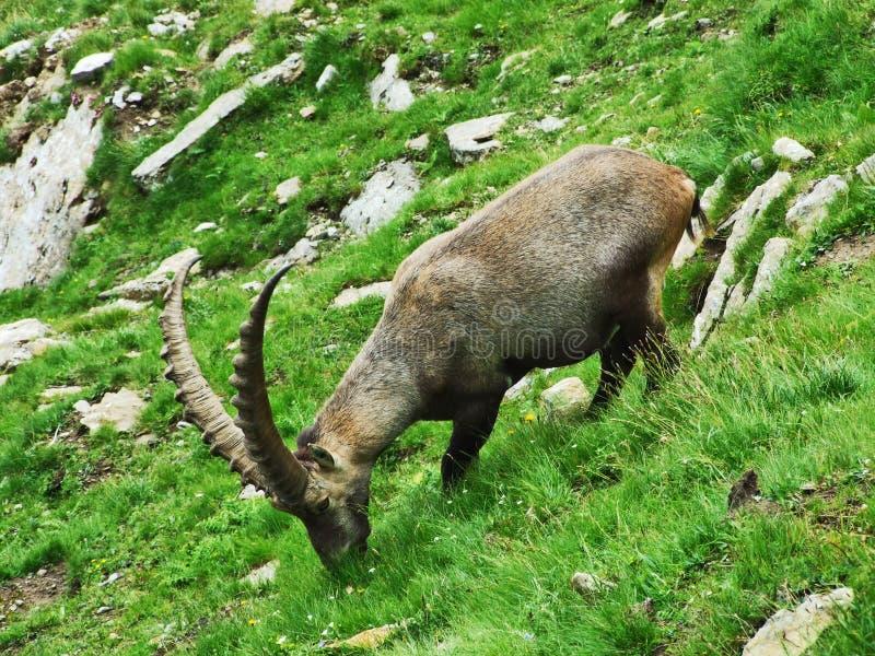 Troep van Gemzen of Rupicapra-rupicapra L n de rand van de bergmassa Alpstein royalty-vrije stock fotografie