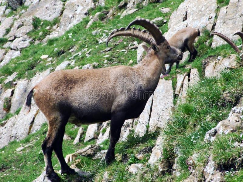 Troep van Gemzen of Rupicapra-rupicapra L n de rand van de bergmassa Alpstein stock foto's