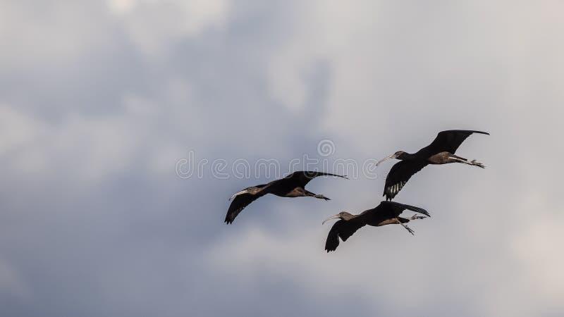 Troep van Glanzende Ibis tijdens de vlucht royalty-vrije stock fotografie