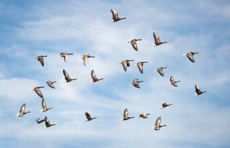 Troep van greylag ganzen die in de bewolkte hemel vliegen - vogelmigratie in het nationale park Neusiedlersee Seewinkel Burgenlan stock foto