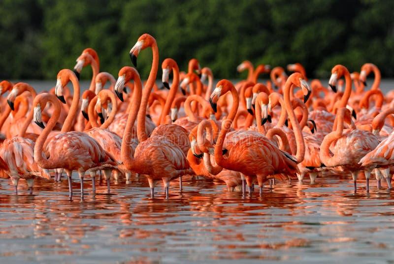 Troep van grotere flamingo's royalty-vrije stock foto's