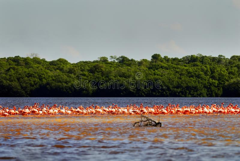 Troep van grotere flamingo's stock foto