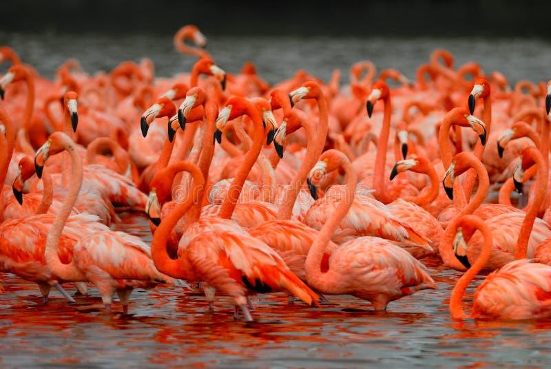 Troep van grotere flamingo's royalty-vrije stock afbeeldingen