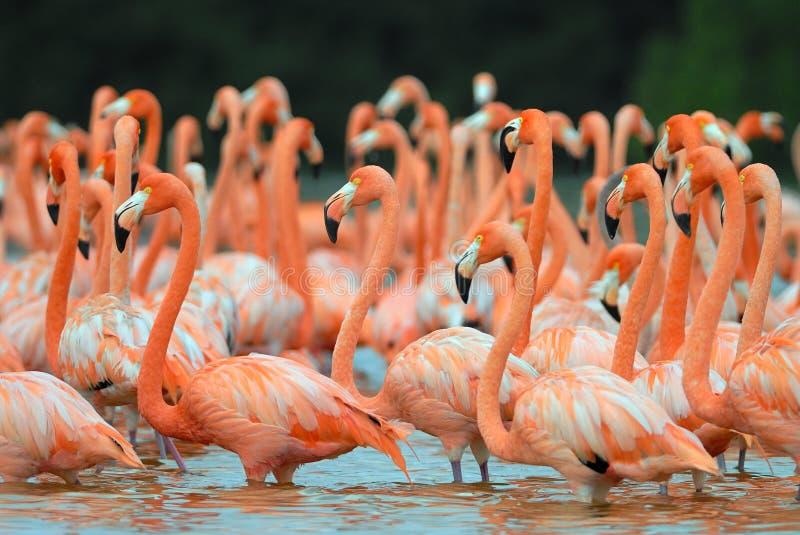 Troep van grotere flamingo's stock fotografie