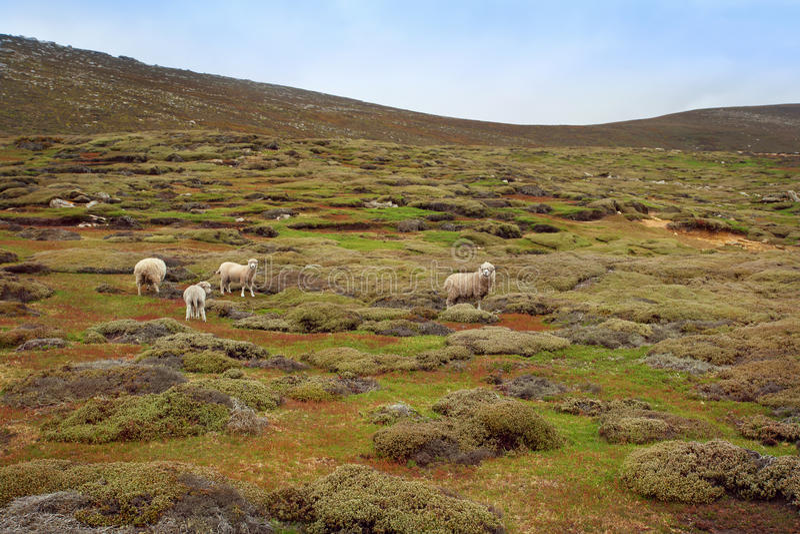 Troep van het weiden van schapen royalty-vrije stock afbeelding