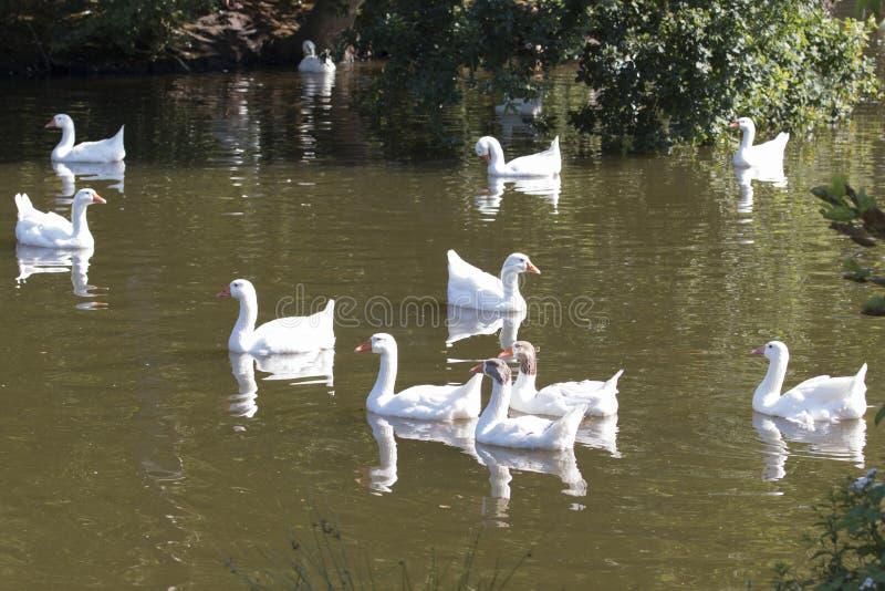 Troep van het wilde ganzen zwemmen stock fotografie