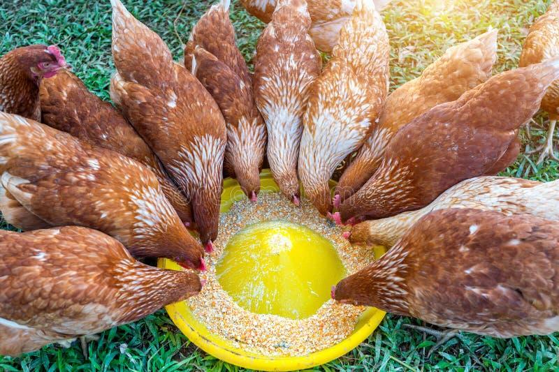 Troep van kippen die voedsel eten stock fotografie