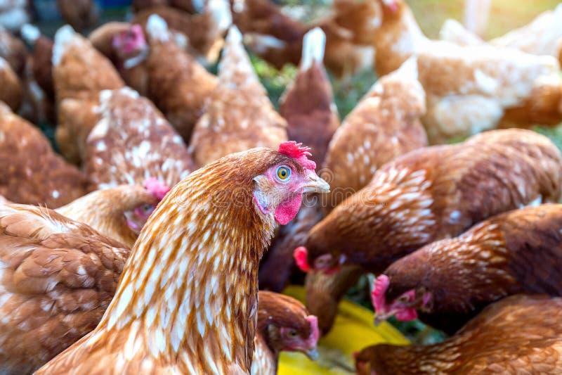 Troep van kippen die voedsel eten royalty-vrije stock afbeeldingen