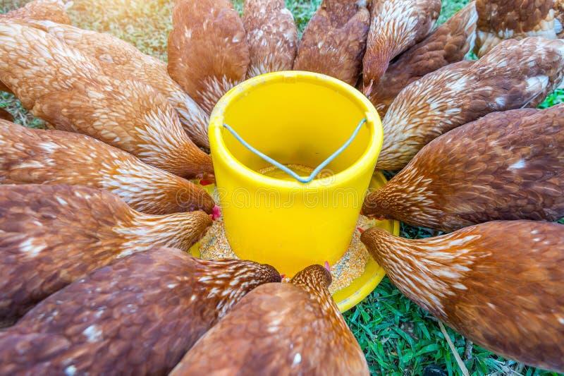 Troep van kippen die voedsel eten royalty-vrije stock fotografie