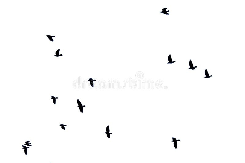 Troep van kraaien op witte achtergrond tijdens de vlucht worden geïsoleerd die royalty-vrije stock fotografie