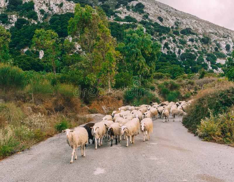 Troep van langharige schapen met kale hoofden die de straat op het Eiland Kreta kruisen royalty-vrije stock afbeeldingen
