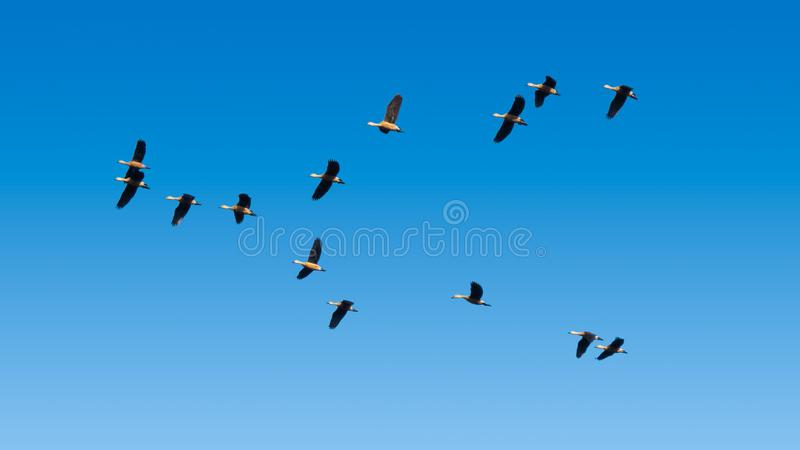 Troep van Lesser Whistling Ducks Flying in Blauwe Hemel royalty-vrije stock foto's
