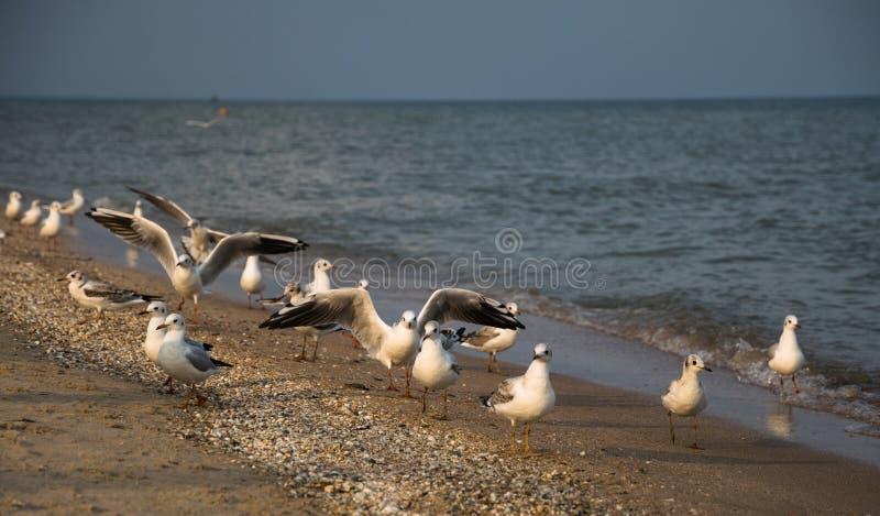 Troep van meeuwen op een zandig strand in Los Angeles, Californië stock fotografie