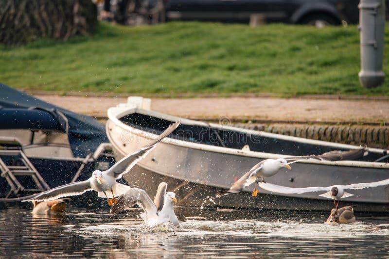 Troep van meeuwenstrijden over brood in een kanaal in Amsterdam, Nederland wordt geworpen dat stock foto's