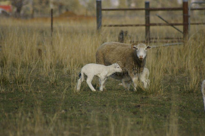 Troep van ooien met hun lammeren op een gebied op een landbouwbedrijf tijdens een bijzonder droog droogteseizoen royalty-vrije stock foto