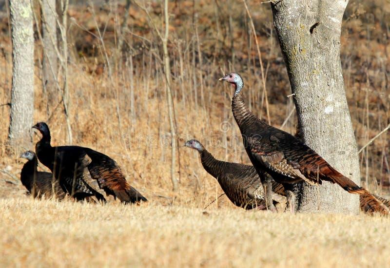 Oostelijk Wild Turkije stock foto