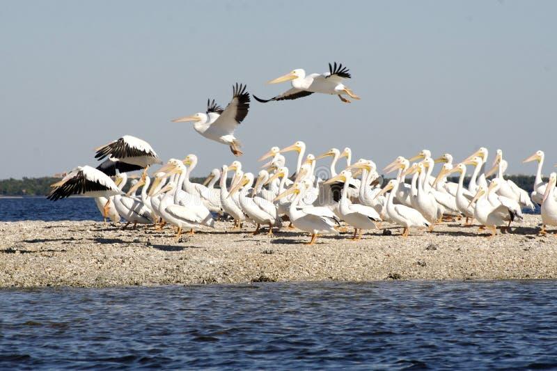 Troep van Pelikanen door kust stock foto