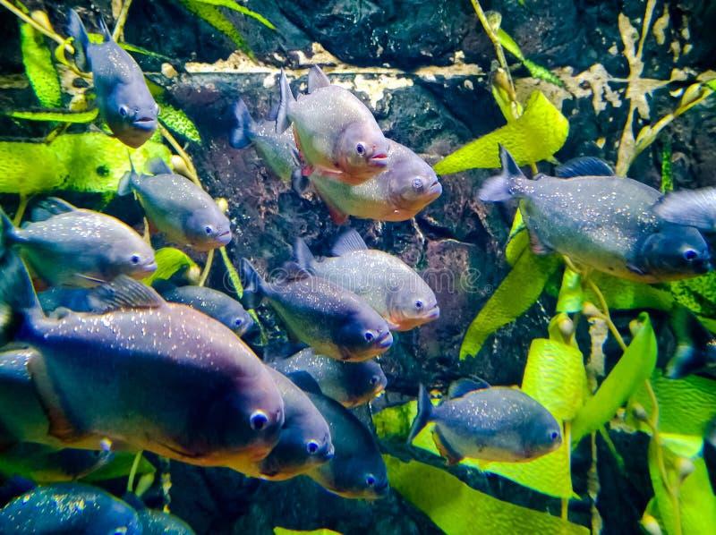 Troep van Piranha's in het aquarium stock afbeeldingen