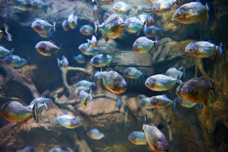 Troep van piranha's onder rotsen in rivier stock fotografie