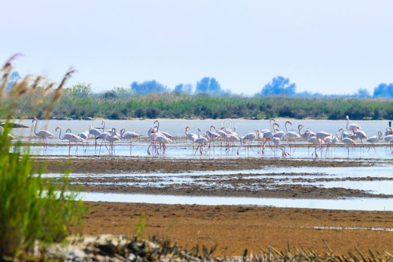 Troep van Roze Flamingo's Po rivierlagune stock foto's